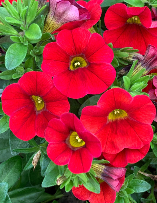 Calibrachoa Callie