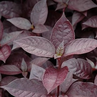 "Alternanthera ""purple knight"""