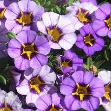 Calibrachoa Superbells