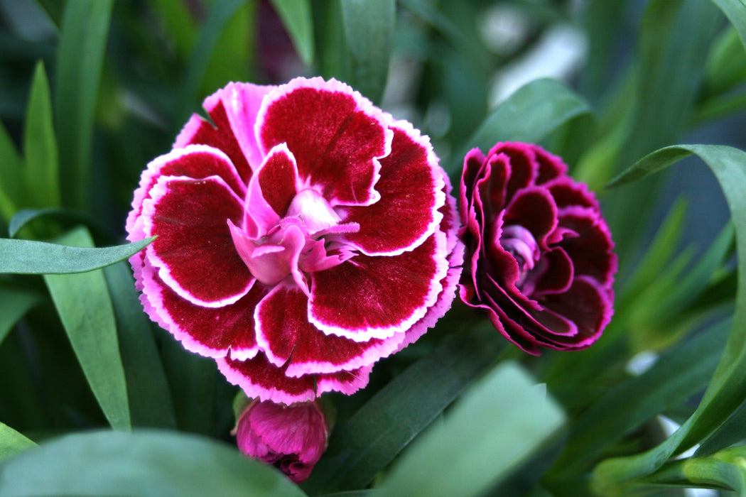 Dianthus Super Trouper