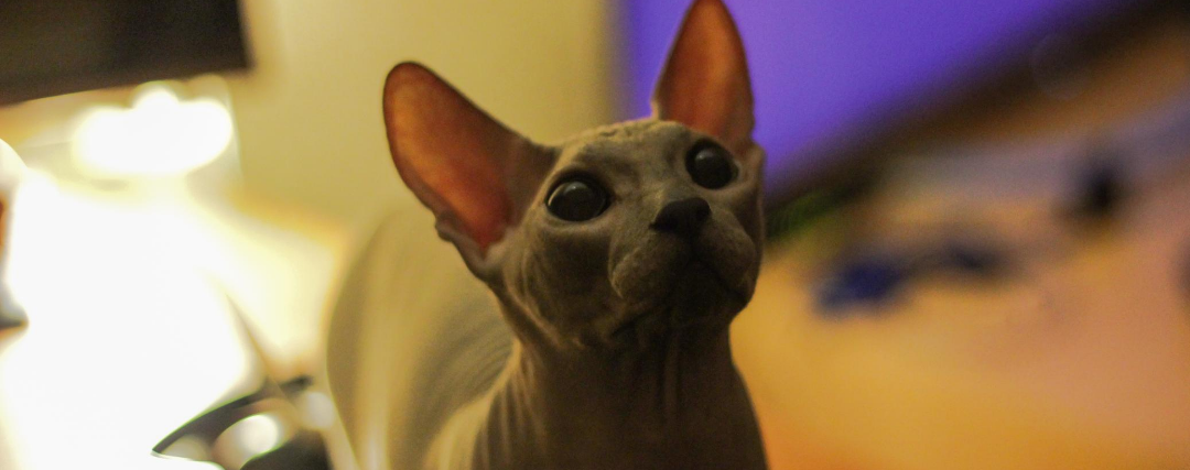 chat sphynx avec gros yeux