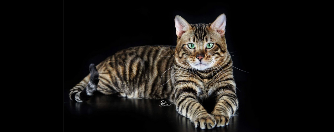 chat toyger photo shooting