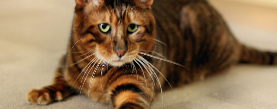 chat toyger tete