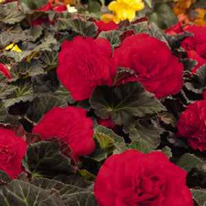 Jumbo 6 pack Begonia Nonstop Mocca Red