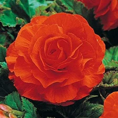 10.5cm Begonia Nonstop Orange