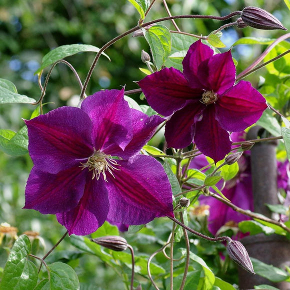 Clematis Star of India 3 Litre