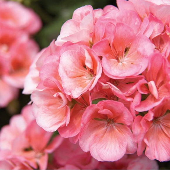 13cm Geranium Designer Light Salmon