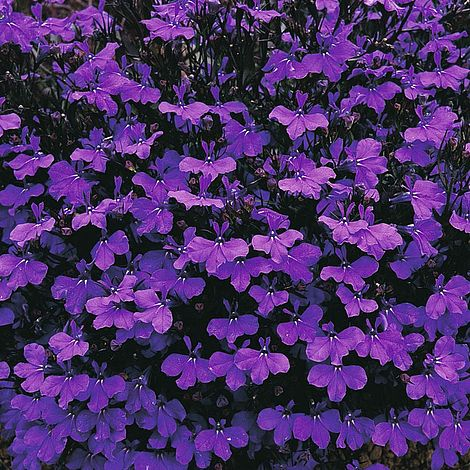 12 Pack Lobelia Upright Crystal Palace