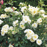 Flower Carpet White rose bush 3 Litre