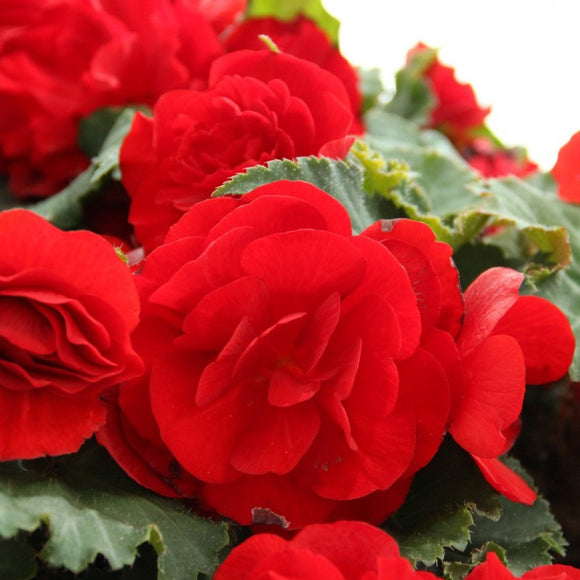 Jumbo 6 pack Begonia Nonstop Red