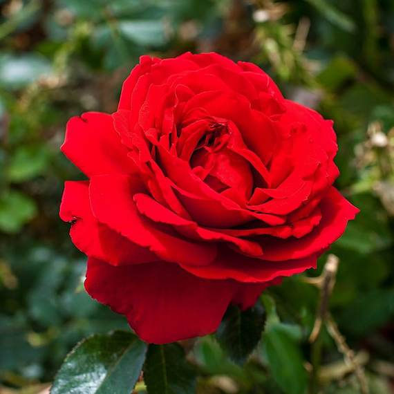 Ruby Anniversary rose bush 3 Litre