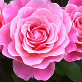 Tickled Pink bush rose 3 Litre