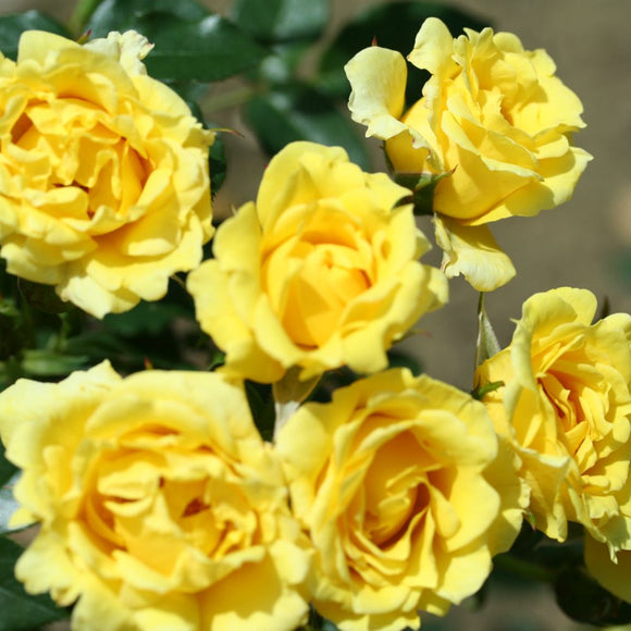 Yellow Patio Rose bush 3 Litre