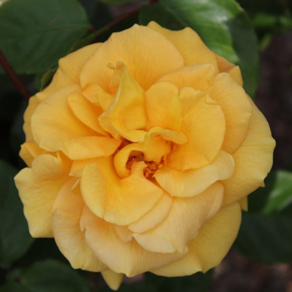 Precious Gold rose bush 3 Litre