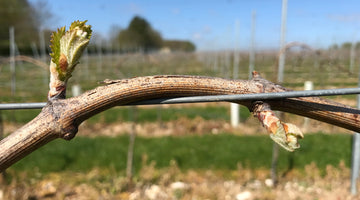 Hope springs eternal as a new growing season bursts into life throughout the vineyard.