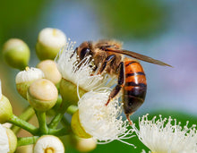 Load image into Gallery viewer, Eucalyptus Honey