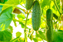 Load image into Gallery viewer, Cucumber (Kakri) Badi