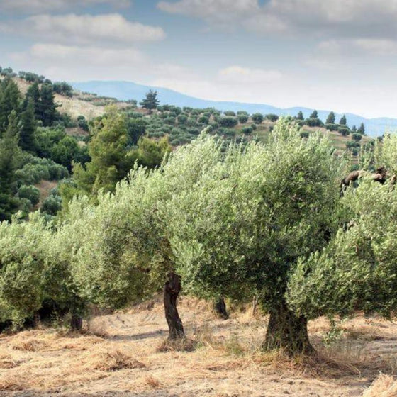 Ogliarola Extra Virgin Olive Oil - Lot22oliveoilco.com