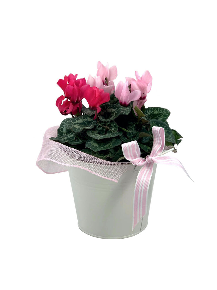 Potted Cyclamen