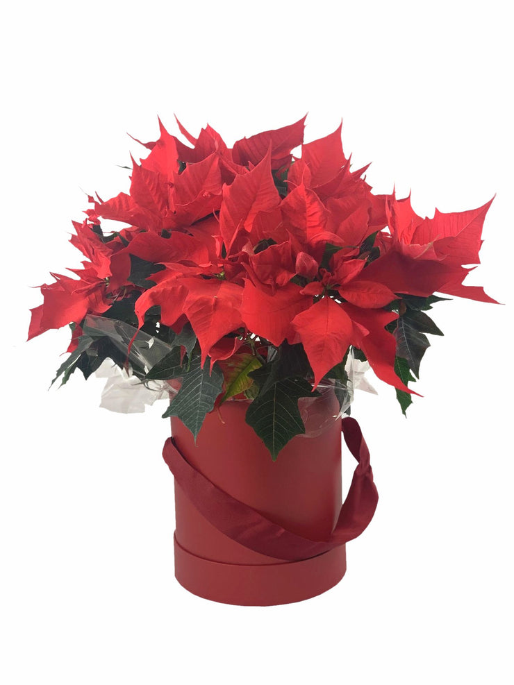 Poinsettia plant in hat box