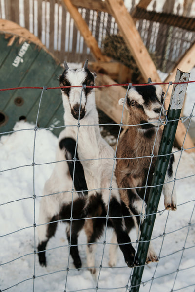 11 Essential Items for Your Goat First Aid Kit [Free Download]