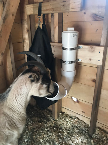 goat at pvc mineral feeder