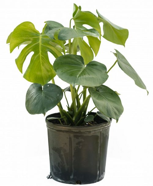 Monstera (Split Leaf Philodendron)