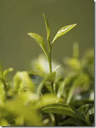 Darjeeling is picked by experts, taking just the bud and the youngest leaf.