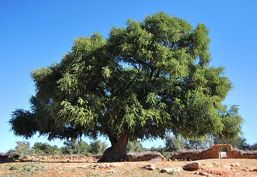 What is Moroccan Argan oil?