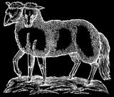17th century woodcut of a lamb with two heads