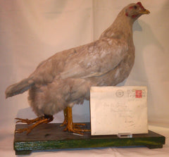 Four legged hen and Christmas envelope 12-17-48