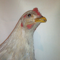 Four legged hen portrait