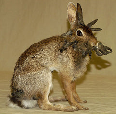 Bunny with papilloma virus