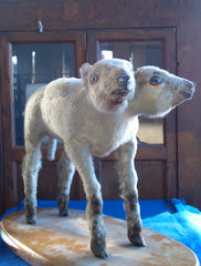 Ewe Too, freak lamb at Ye Olde Curiosity Shop