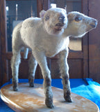 Ewe Too, two-headed sheep at Ye Olde Curiosity Shop