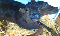 Two-headed bull calf at Ye Olde Curiosity Shop