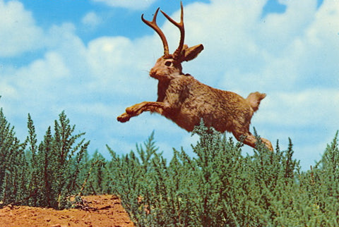 jackalope_in_the_wild_large.jpg?11502701639502724114