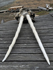 Rare narwhal skull with two tusks