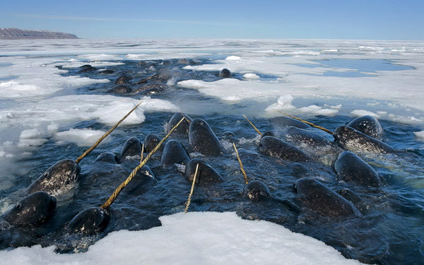 Narwhals gathering in an opening in the arctic ice