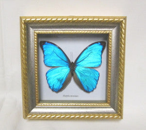 blue morpho in frame