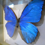 Blue Morpho butterfly in frame-Real!