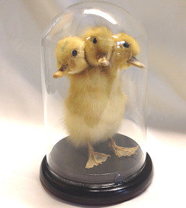Three headed duckling-Taxidermy Gaff
