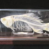 fish skeleton in case