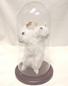 Two headed rabbit-Taxidermy Gaff
