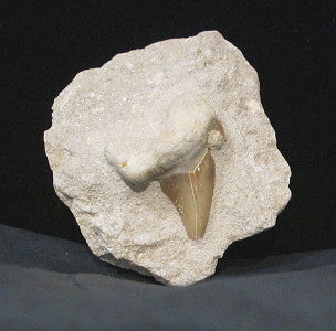 fossil shark tooth in matrix
