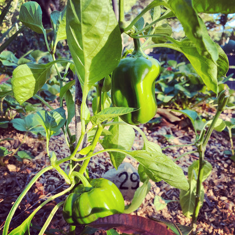 Peppers growing on a Hugelbed at la Food Forest