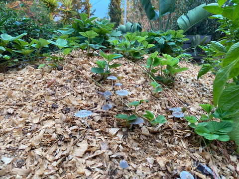 Strawberries as Ground Cover in Food Forest