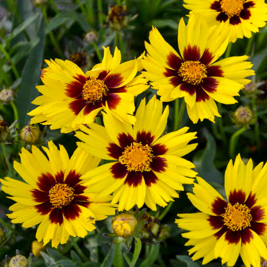 Coreopsis (Tick Seed)