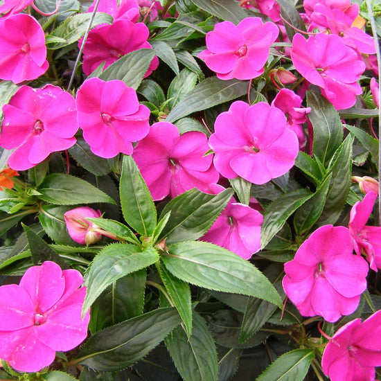 New Guinea Impatiens 4""