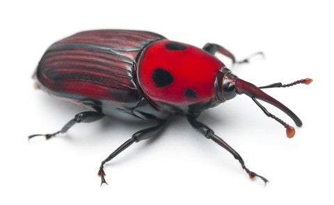 Red Palm Weevil - IT189